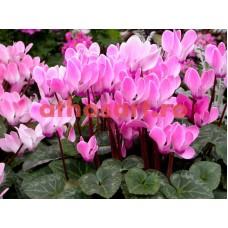 Flori de cyclamen cod E50